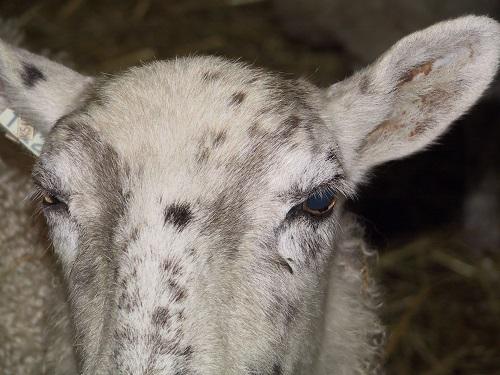 3-eyes-sheep-infectious-keratoconjunctivitis.jpg