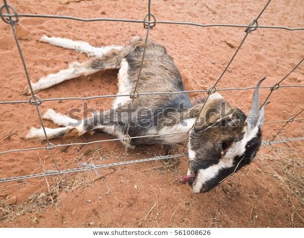 carcass-dead-wild-goat-who-600w-561008626.jpg