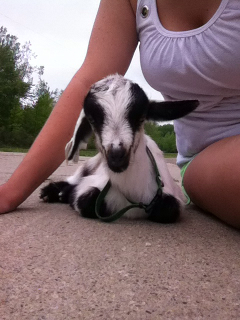 Baby Goat With Diarrhea And Won T Eat The Goat Spot Your Goat Raising Owning Headquarters