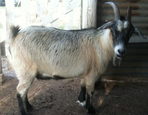 Ear mites??   The Goat Spot - Your Goat Raising & Owning