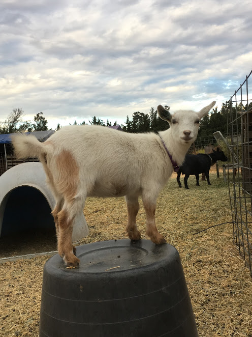 California Nigerian Dwarf Goats And Pygora For Sale In Ca