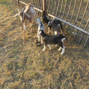 Speckled goat with her kids and some others